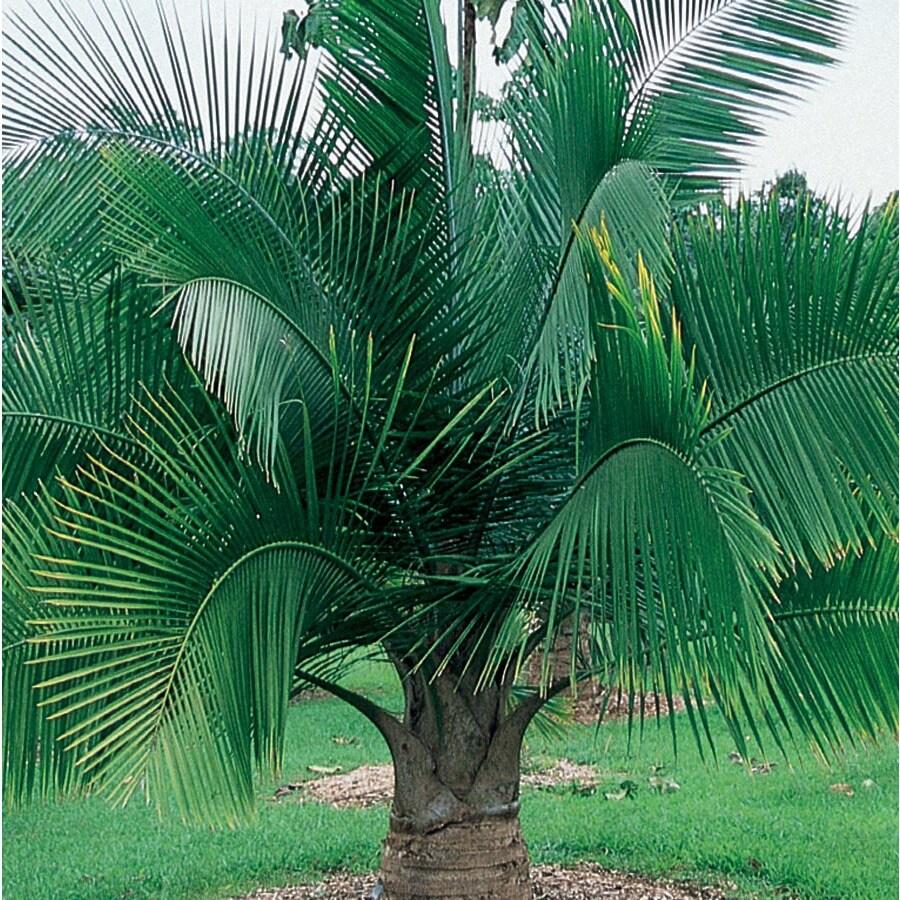 6.5-Gallon Majesty Palm (Ltl0062)