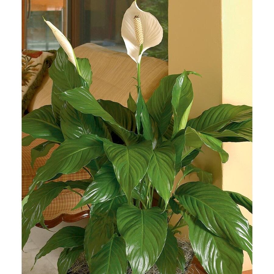 14-oz Peace Lily (L20977hp)