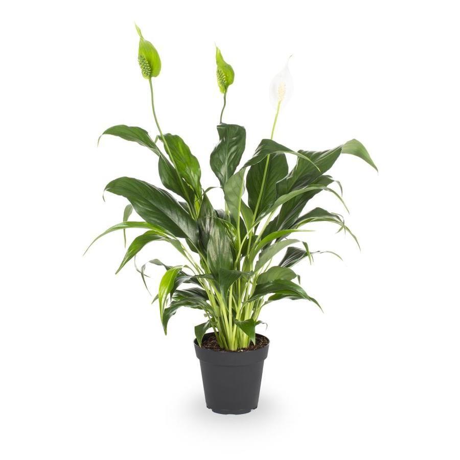 1.25-Quart Peace Lily (L20977hp)