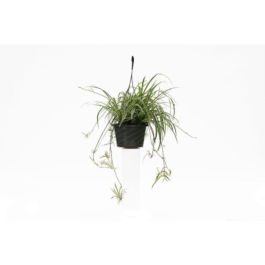 3-Quart Spider Plant (L03929)