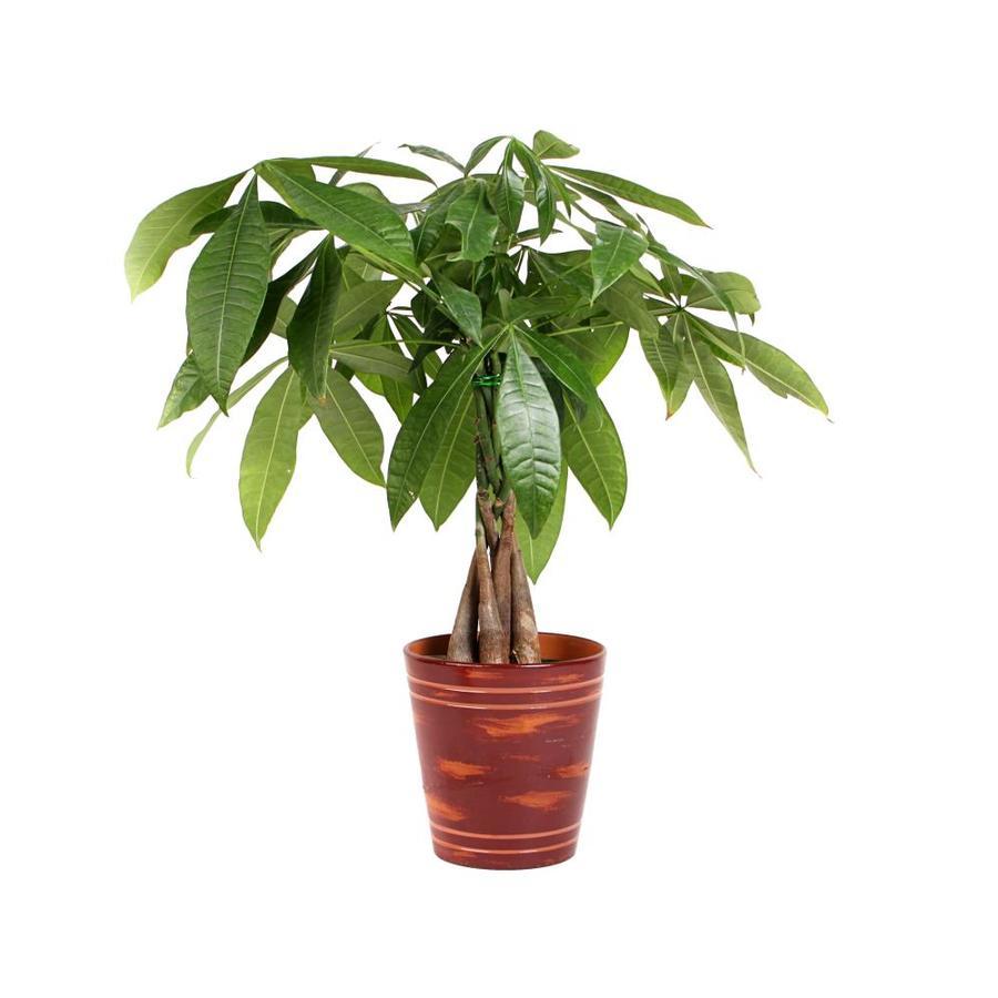 24-oz Pachira Money Tree (L20962hp)