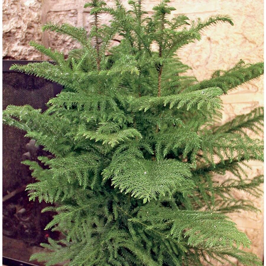 13-oz Norfolk Island Pine (L20960HP)