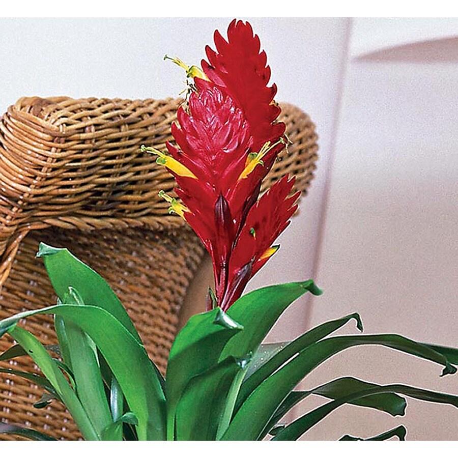2.62-Quart Bromeliads (L20921hp)