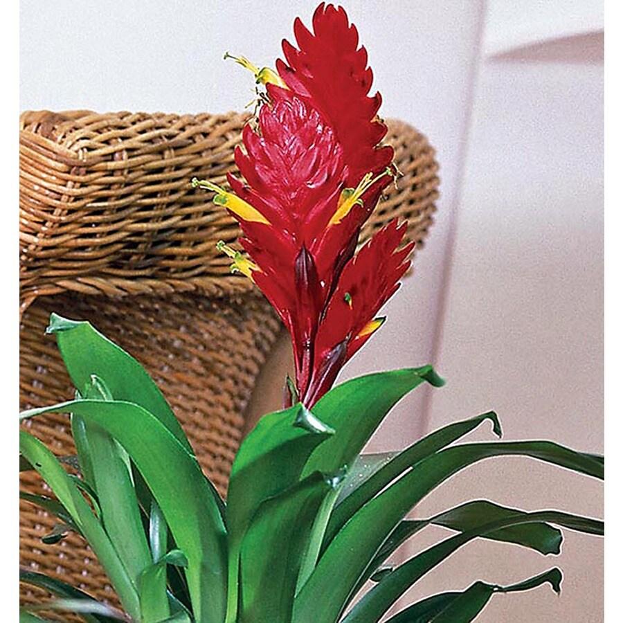 1-Gallon Bromeliads (L20921hp)