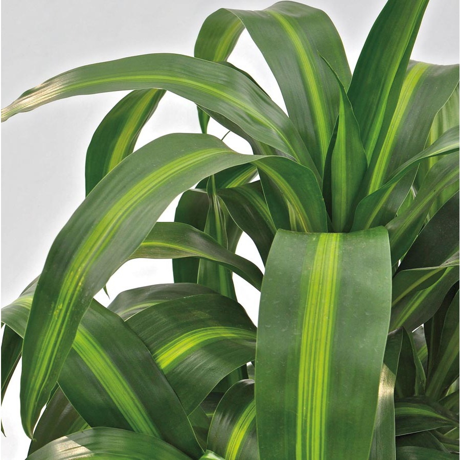 1.57-Quart Hawaiian Sunshine Dracaena (L25774HP)