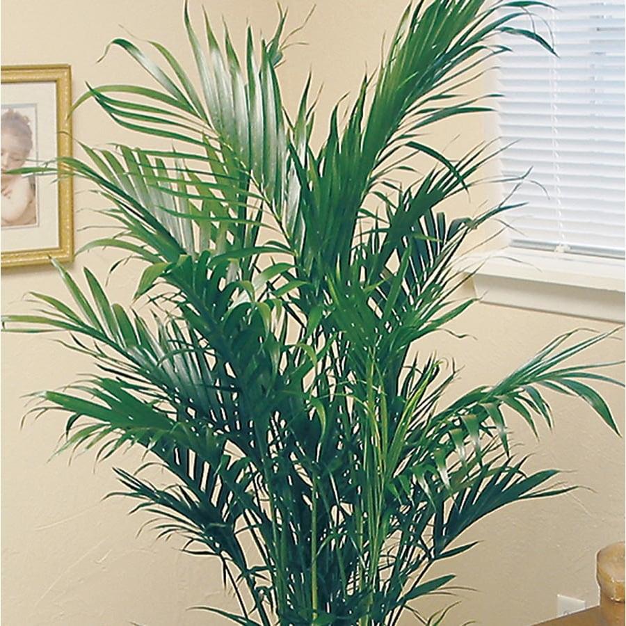 6.5-Gallon Cataractarum Palm (L10034HP)