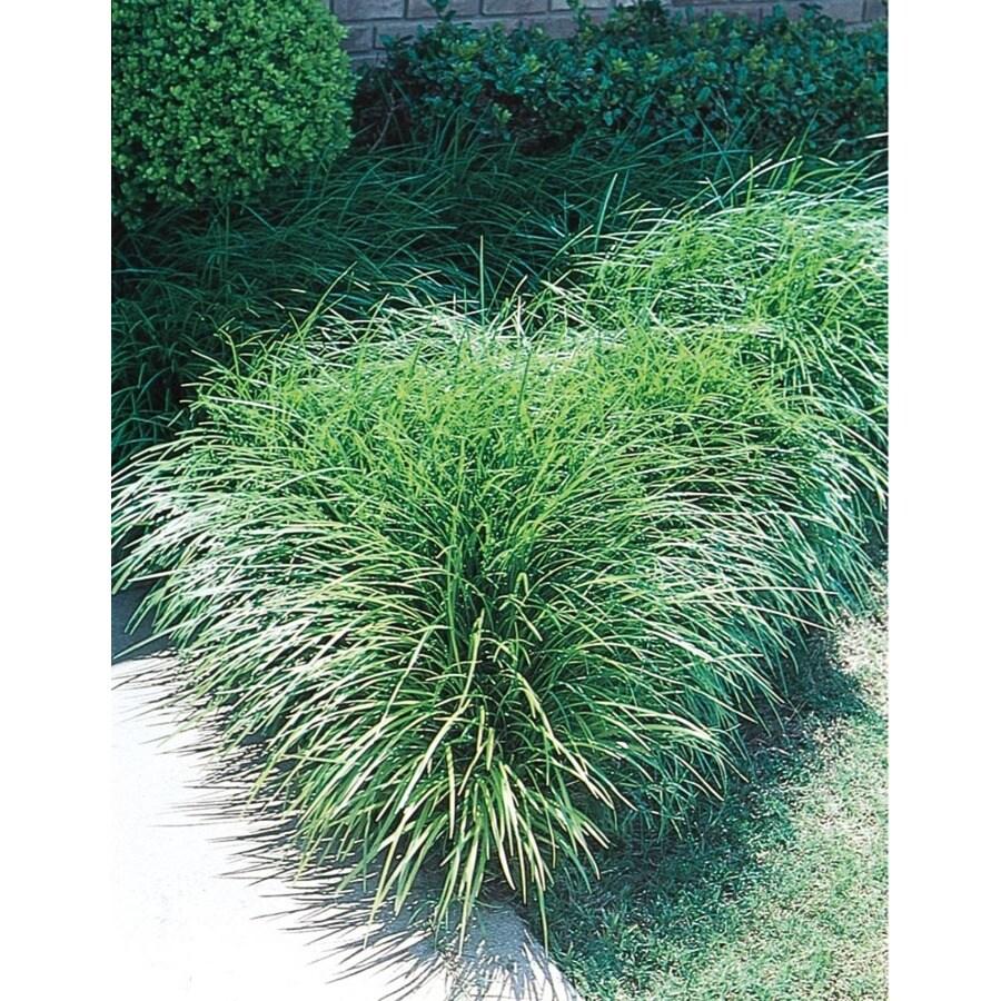 1.29-Quart Mondo Grass (L4050)