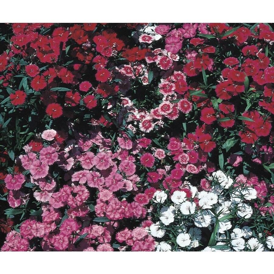 1-Gallon Dianthus (L9857)
