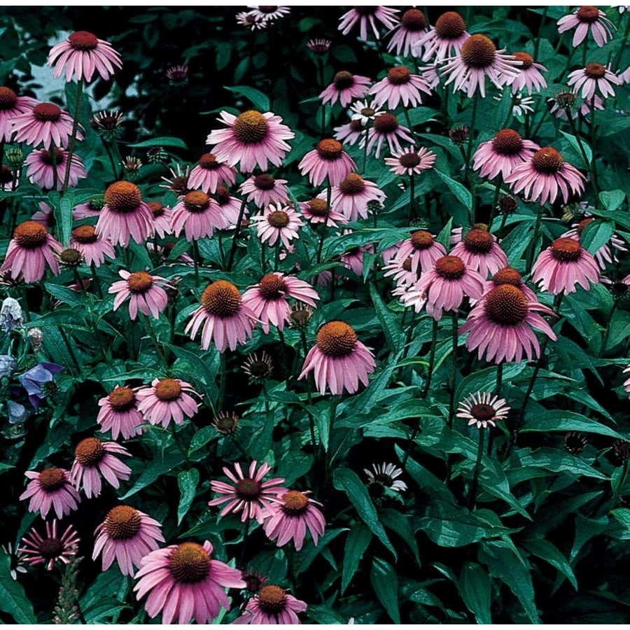1-Gallon Purple Coneflower (L5556)