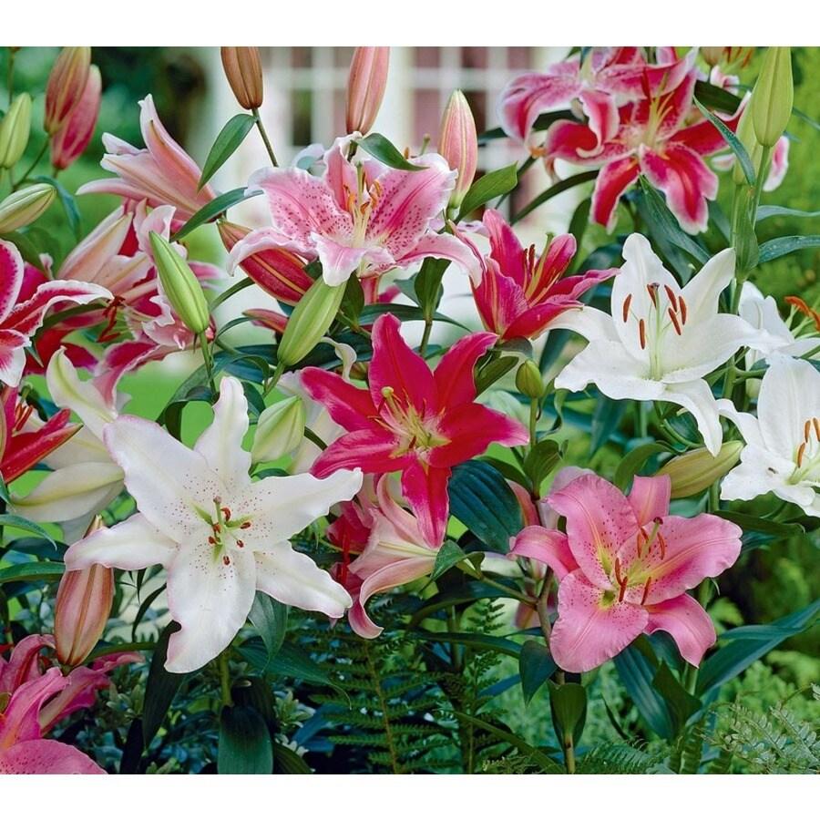 1-Gallon Oriental Lily (L5754)