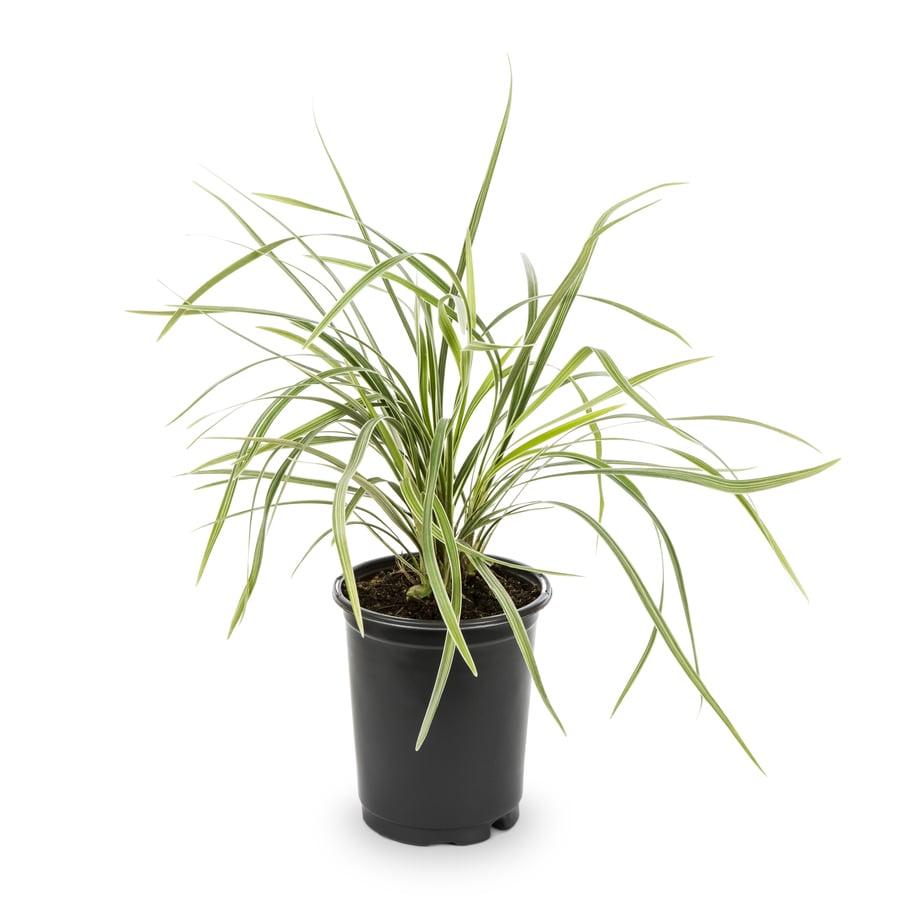 1.25-Quart Aztec Grass (L8297)
