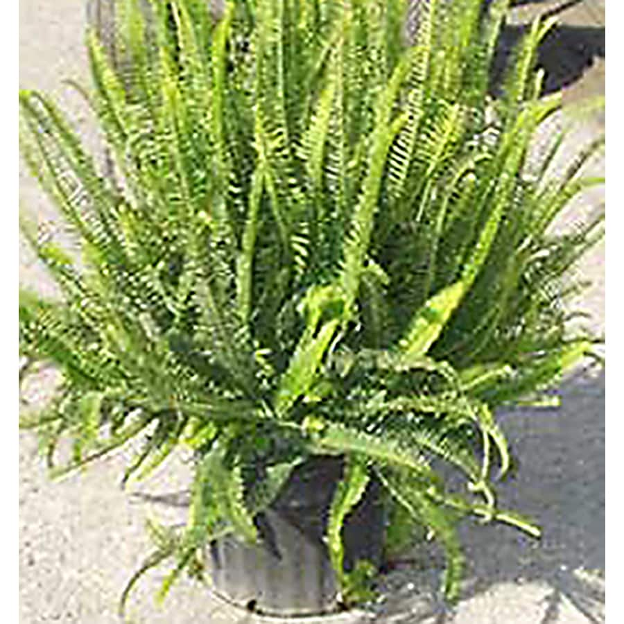 2.33-Gallon Fern Assorted