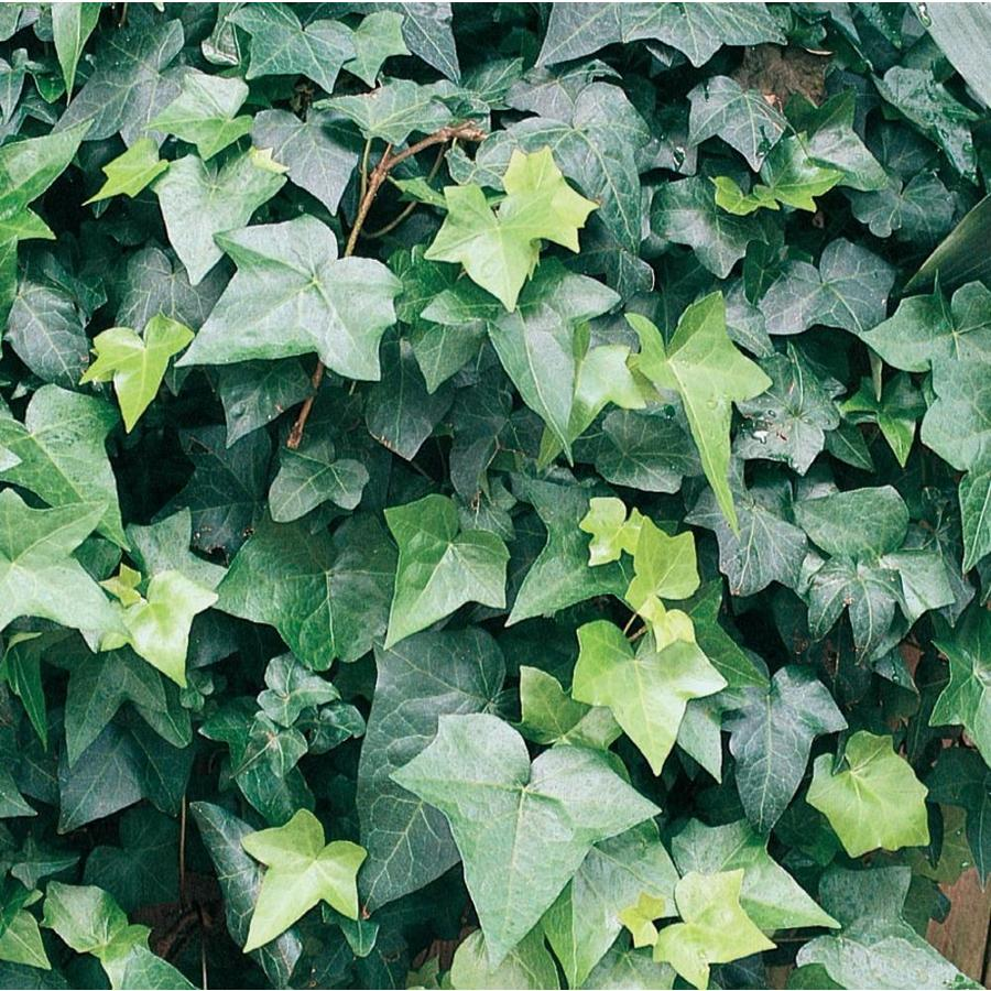 1.21-Pint English Ivy (L5369HP)