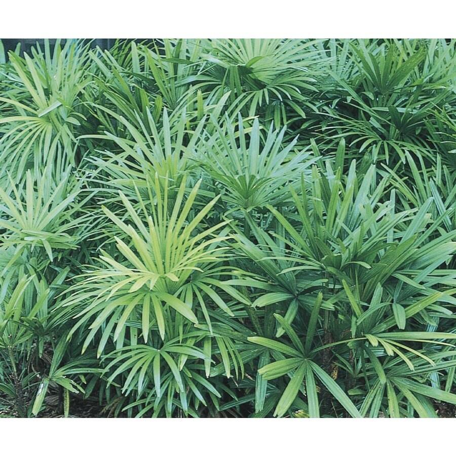 3.5-Gallon Lady Palm (L10147)