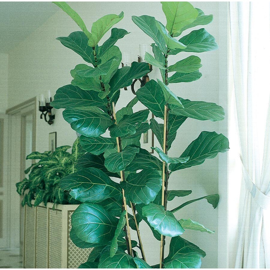 2-Quart Fiddleleaf Fig (L5455HP)
