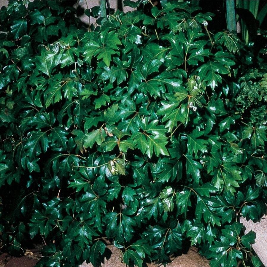 2.94-Quart Grape Ivy (L04155HP)