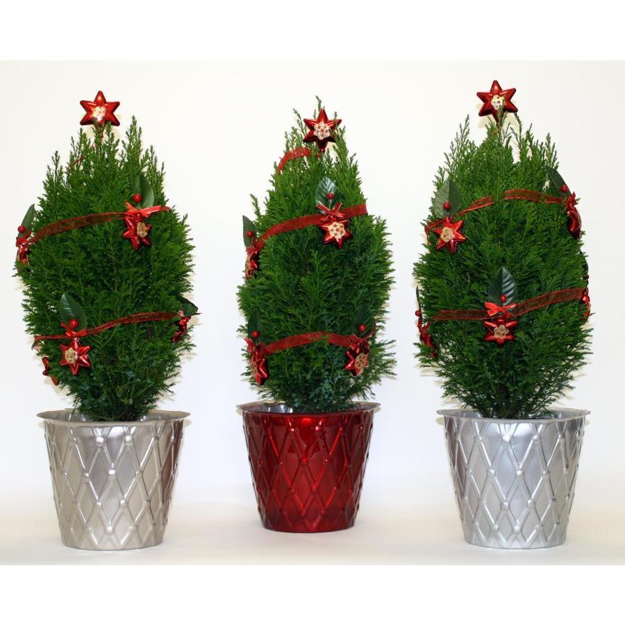 1.25-Quart Green European Cypress Accent Shrub
