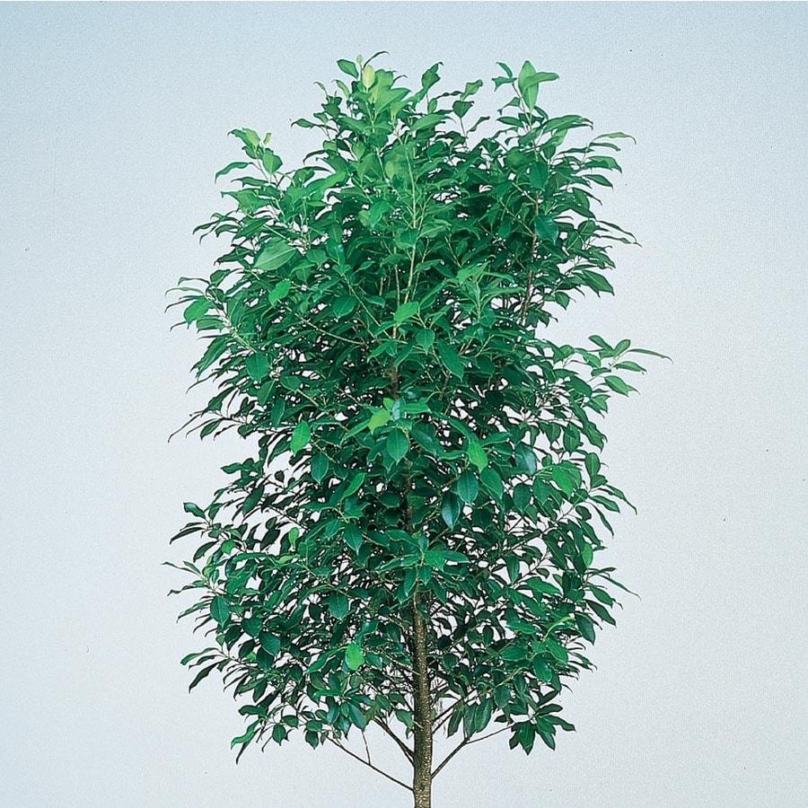 3.58-Gallon Emerald Green Fig Tree Feature Tree (L11722)