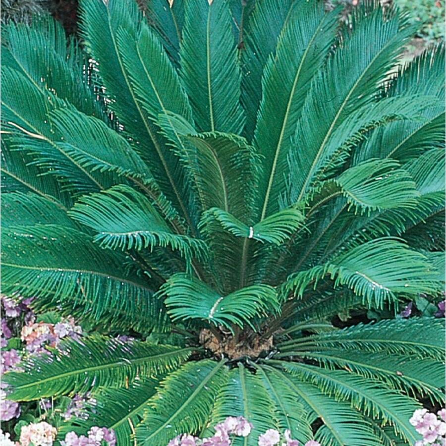 6.08-Gallon Sago Palm (LTL0026)