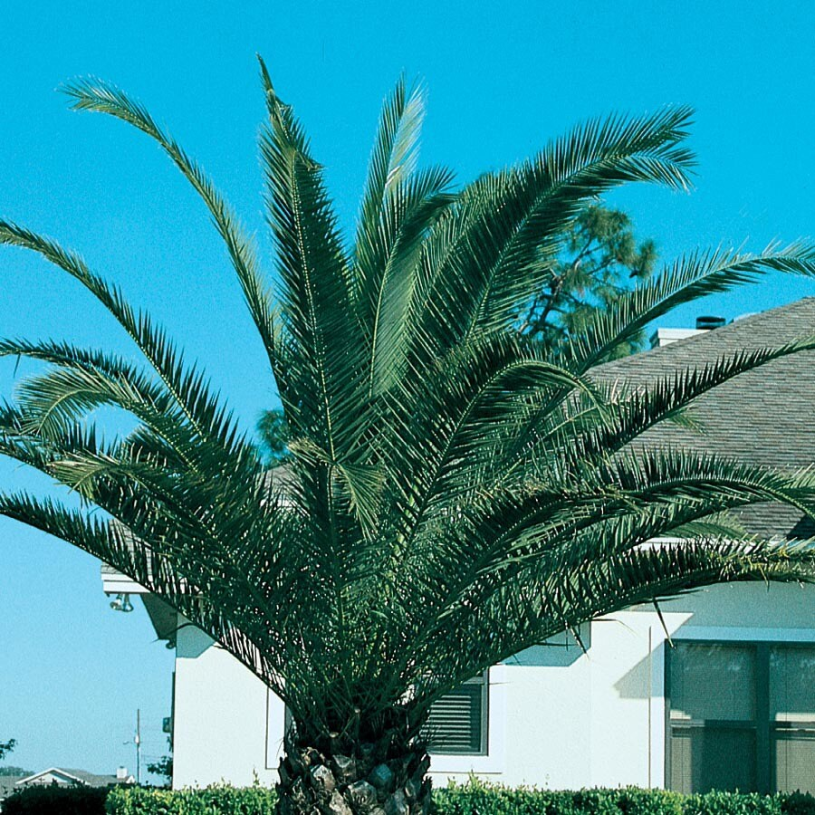 19.09-Gallon Canary Island Date Palm Feature Tree (L7541)