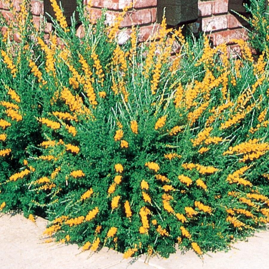 2.5-Quart Yellow Sweet Broom Flowering Shrub (L3064)