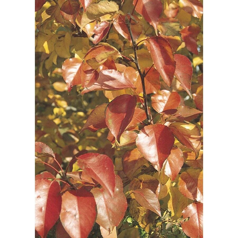 12.07-Gallon Autumn Blaze Flowering Pear Flowering Tree (L24032)