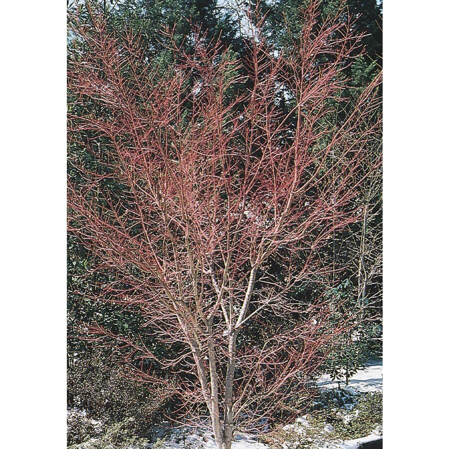5.98-Gallon Coral Bark Japanese Maple Feature Tree (L7231)
