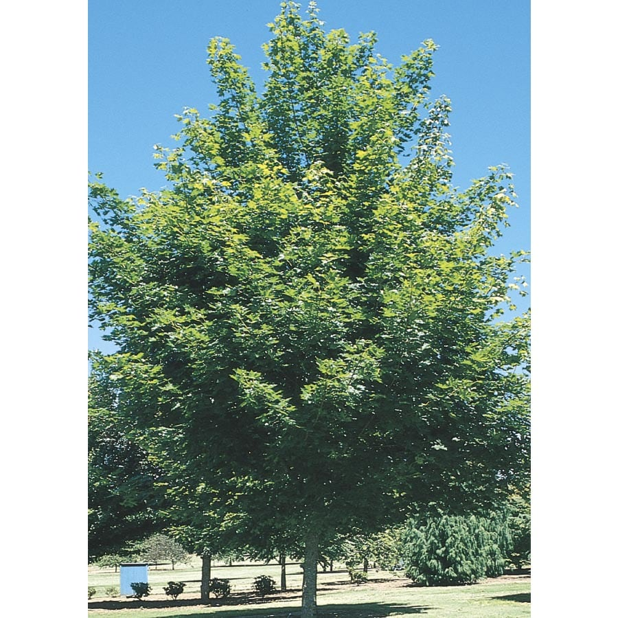 12.07-Gallon Fairview Flame Maple Shade Tree (L10003)