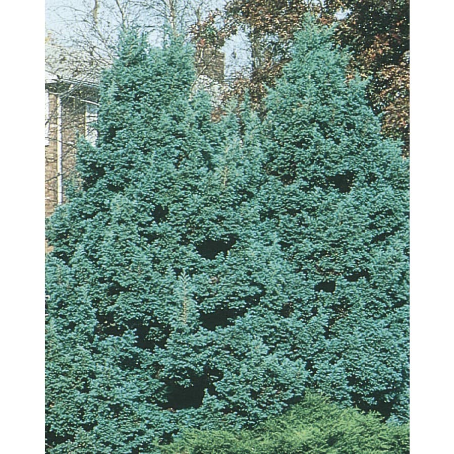 Shop 3.63-Gallon Boulevard False Cypress Feature Tree (L5426) at Lowes.com