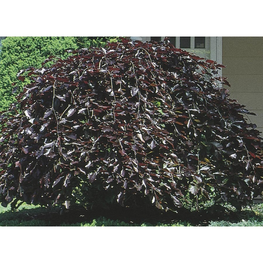 9.55-Gallon Purple Fountain Weeping Beech Feature Tree (L6780)