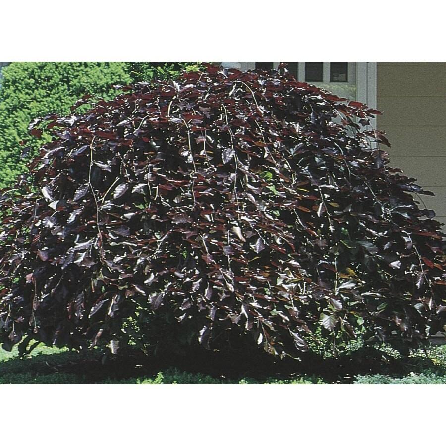 12.07-Gallon Purple Fountain Weeping Beech Feature Tree (L6780)