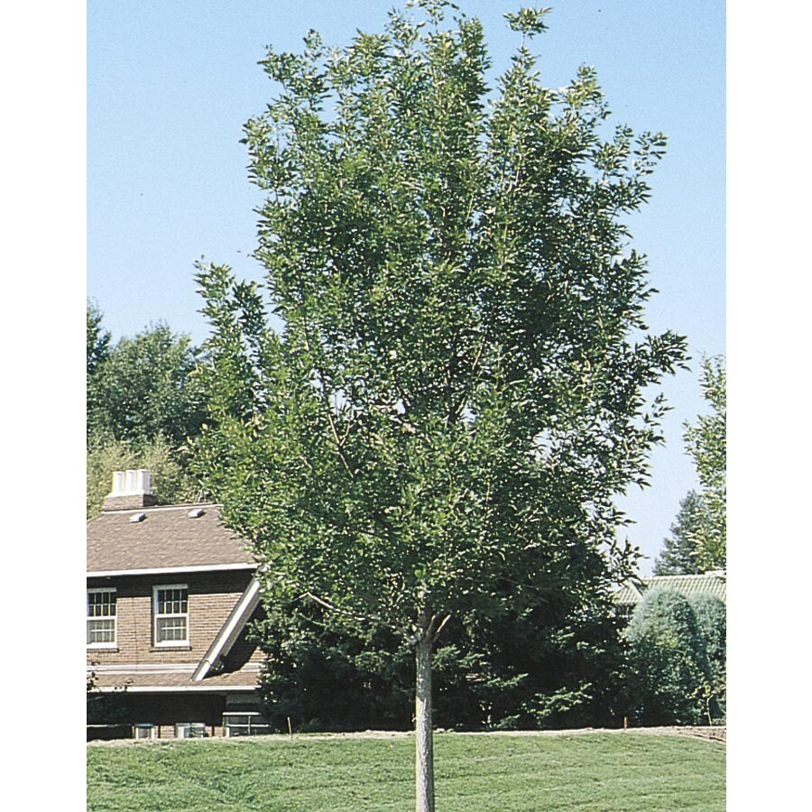 12.07-Gallon Summit Ash Shade Tree (L3495)