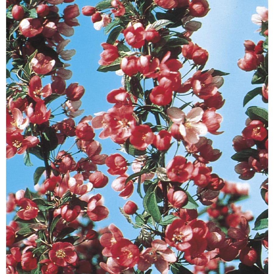 9.55-Gallon Indian Summer Crabapple Flowering Tree (L6132)