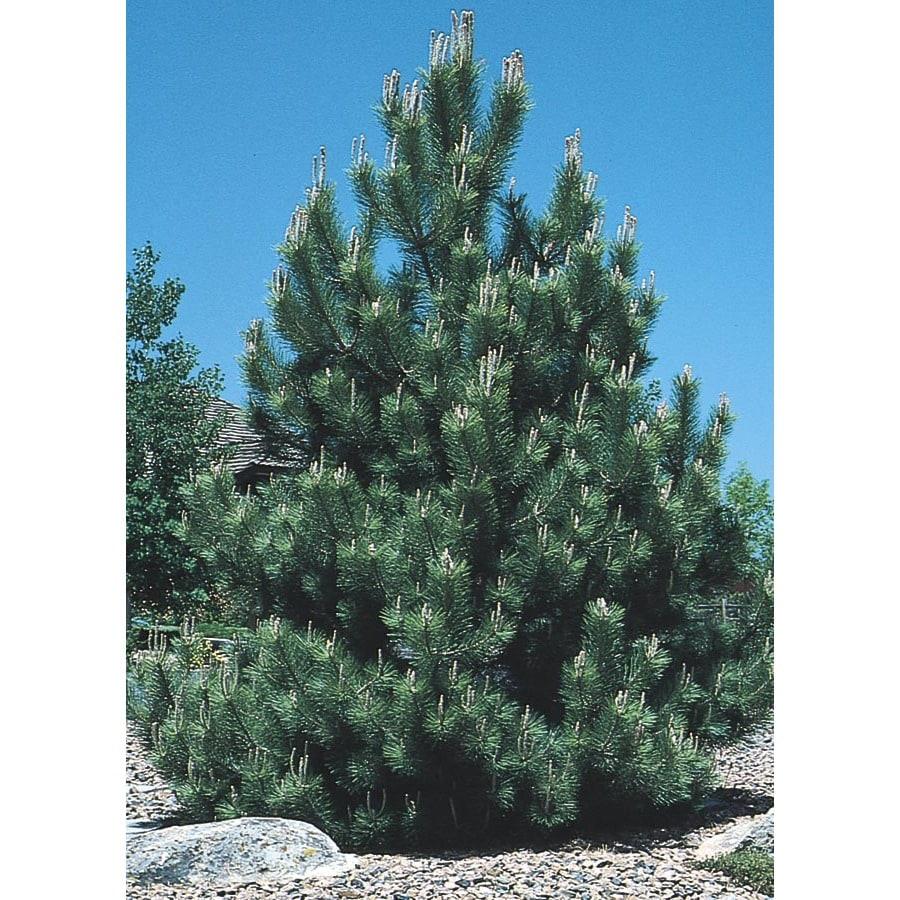 19.5-Gallon Austrian Black Pine Feature Tree (L3618)
