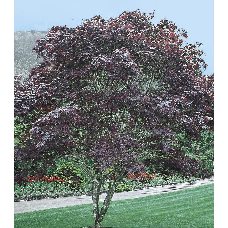 Shop 12.07-Gallon Bloodgood Japanese Maple Feature Tree (L1088) at Lowes.com