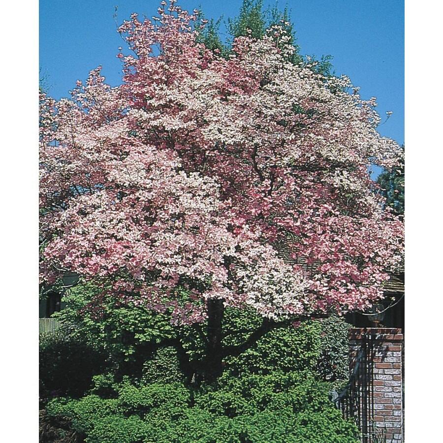 5.98-Gallon Red Flowering Dogwood Flowering Tree (L1022)