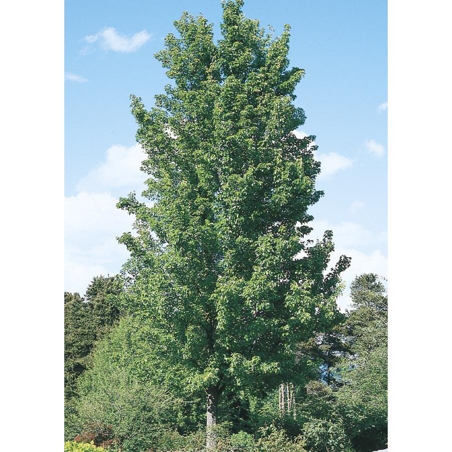 19.78-Gallon Chanticleer Flowering Pear Flowering Tree (L5210)