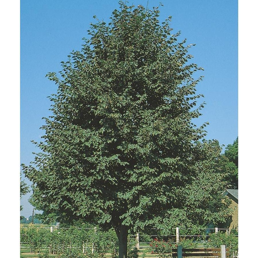 19.78-Gallon Greenspire Linden Shade Tree (L1072)