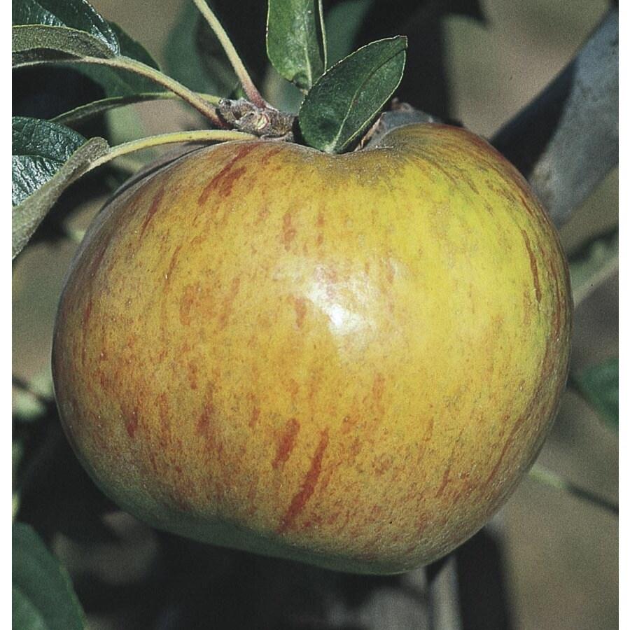 9.55-Gallon Gravenstein Apple Tree (L10474)