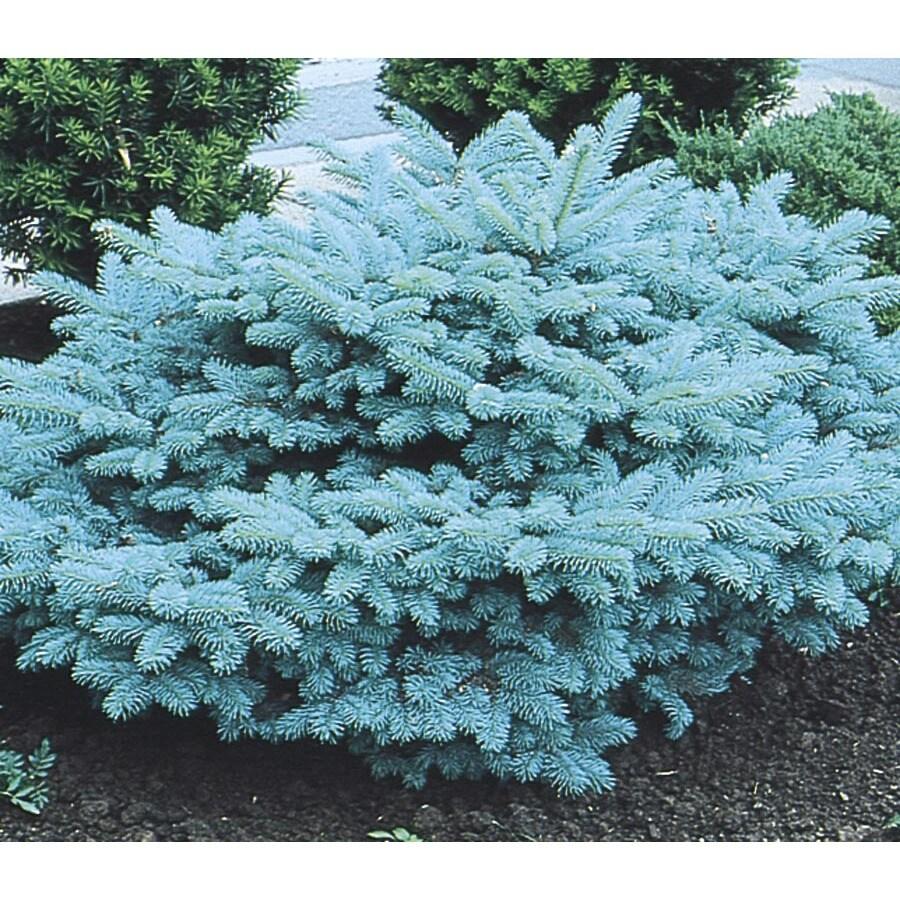 3.63-Gallon Blue Globosa Spruce Feature Tree (L4100)