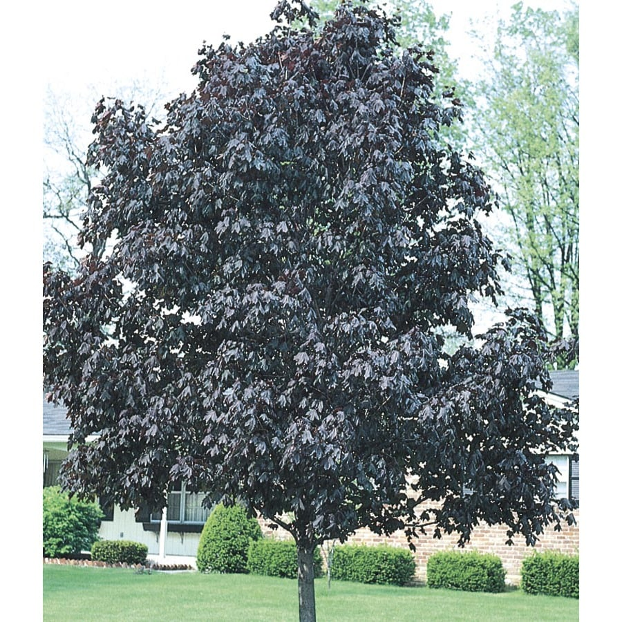 19.78-Gallon Royal Red Norway Maple Shade Tree (L1156)