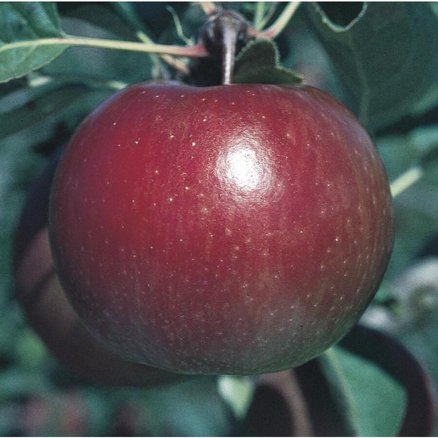 5.98-Gallon Fuji Apple Tree (L10470)