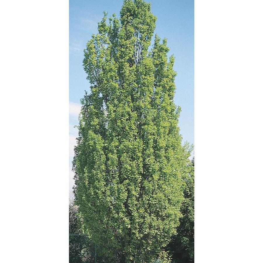 19.78-Gallon Skyrocket Oak Shade Tree (L11186)