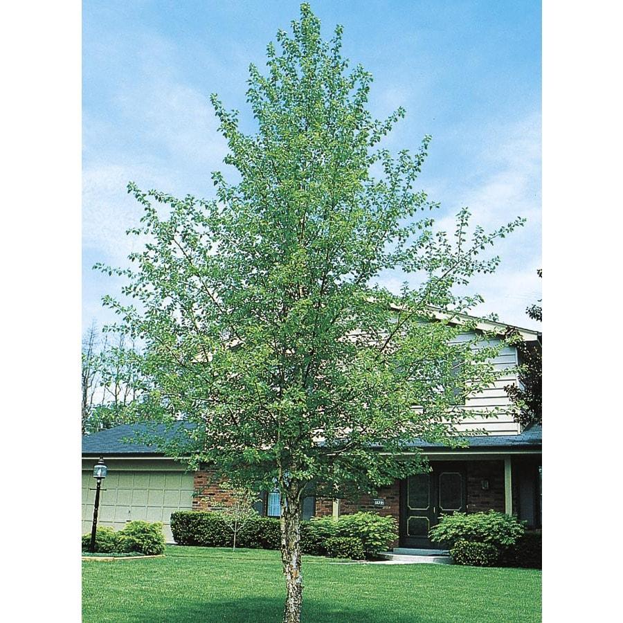 12.07-Gallon River Birch Feature Tree (L1154)