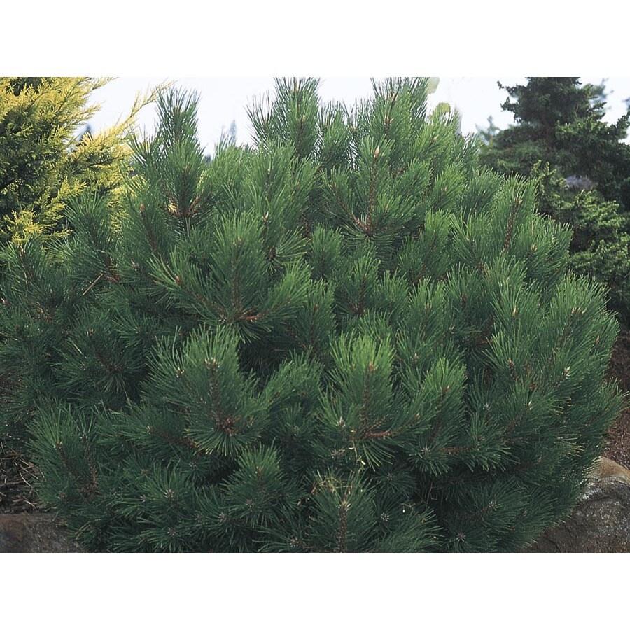 5.98-Gallon Oregon Green Austrian Pine Feature Tree (L24030)