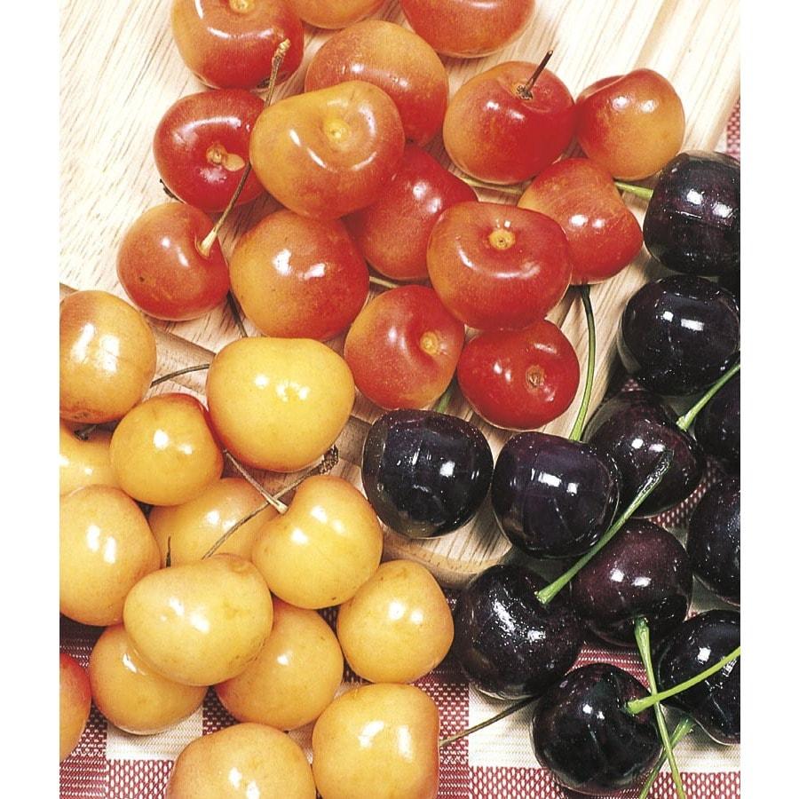 9.55-Gallon 3-n-1 Cherry Tree (L10542)