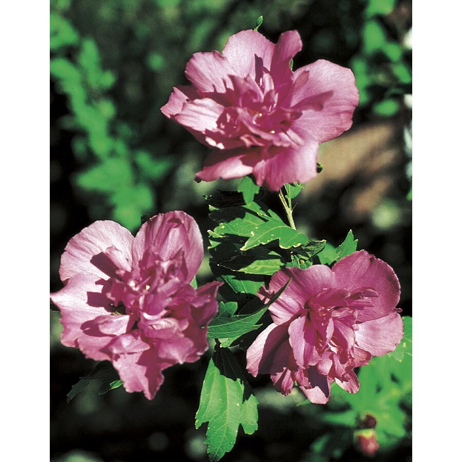 6.96-Gallon Red Lucy Althea Flowering Shrub (LW03785)