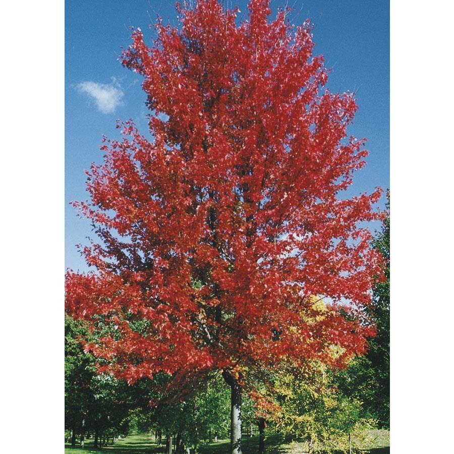 19.78-Gallon Autumn Blaze Maple Shade Tree (L1123)