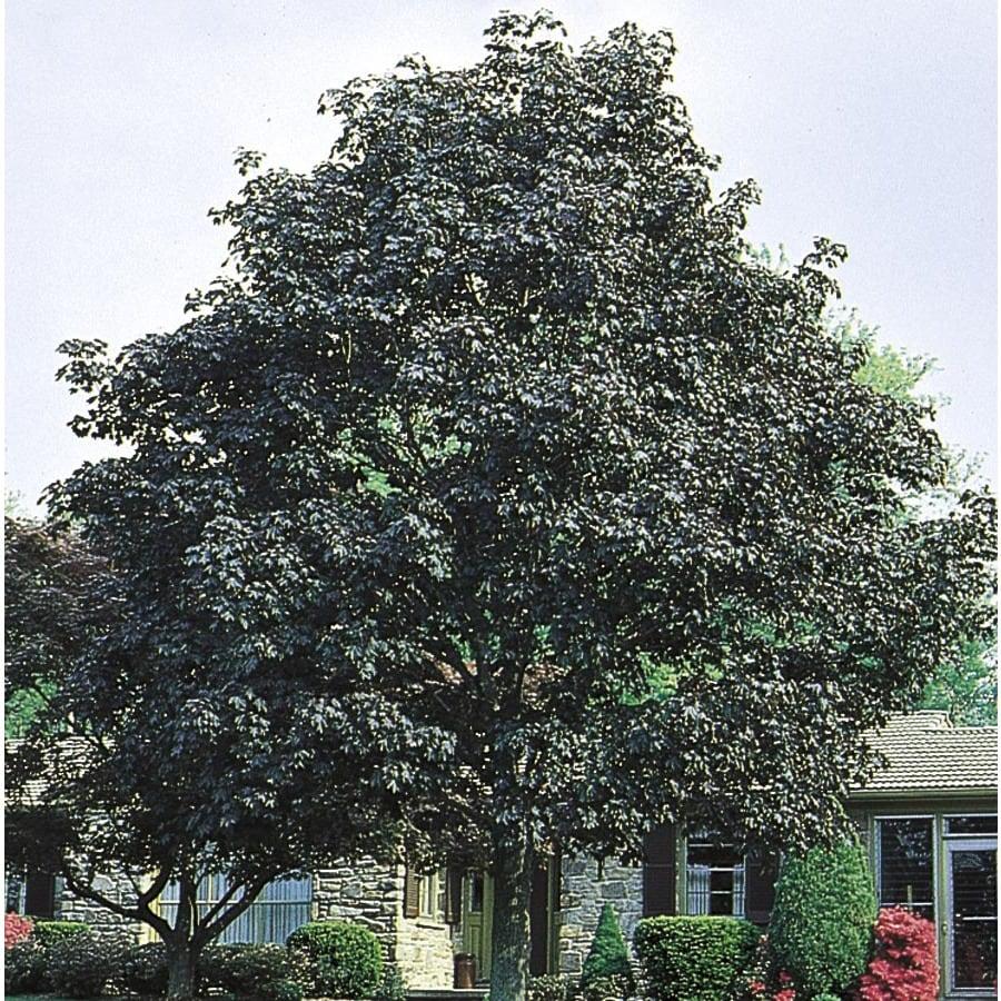12.07-Gallon Crimson King Norway Maple Shade Tree (L3166)
