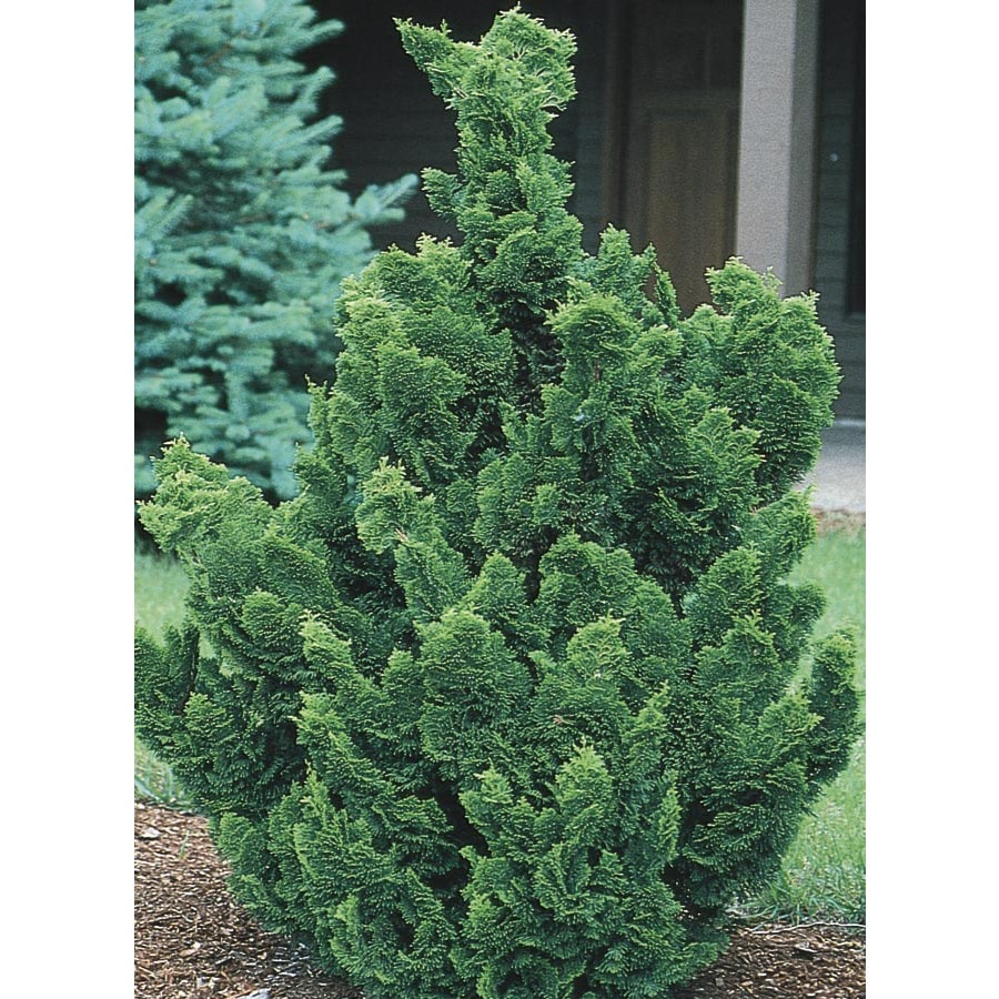 9.55-Gallon Hinoki False Cypress Feature Tree (LW02477)